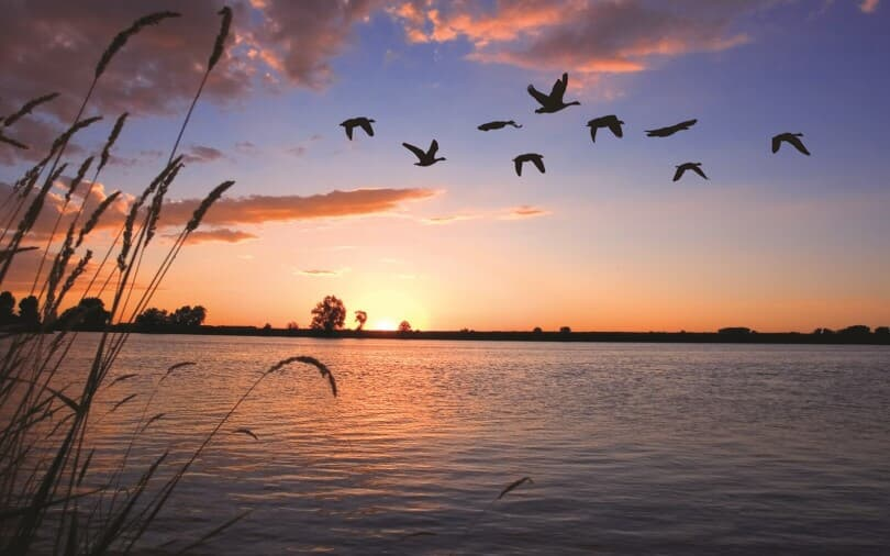 Geese flying at sunset at Barefoot Lakes in Firestone, CO by Brookfield Residential