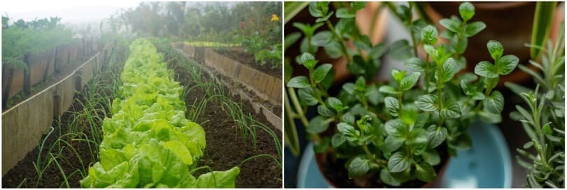 left-lettuce-garden-bed-right-potted-herbs-810x272