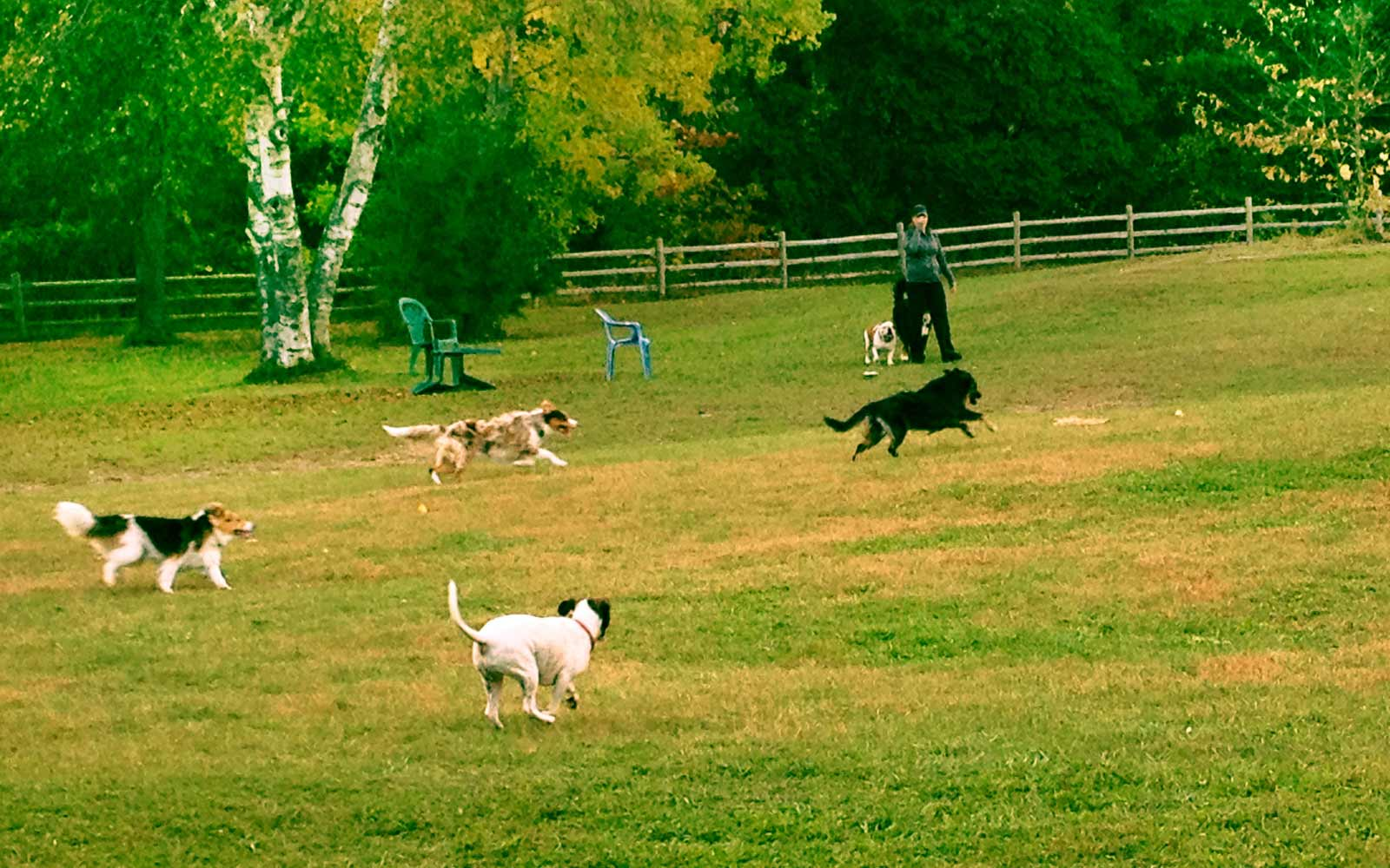 Dogs Running in Field at Grand Valley Park in Pickering, ON