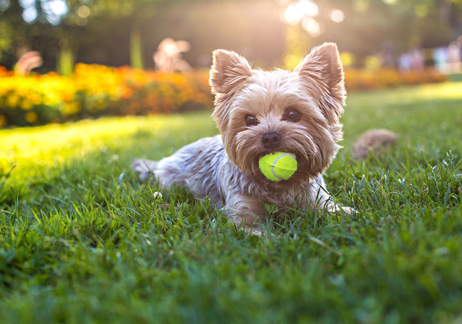 Dog with a tennis ball | Bayberry at The Groves in Whittier, CA | Brookfield Residential